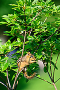 This eastern chipmunk (Tamias striatus) is eating while perched on a small tree branch in Mount Auburn Cemetery, Cambridge, Massachusetts.  Although they climb trees well, it is rare to see them on such small branches.  They generally construct underground nests with extensive tunnel systems, and several entrances.  To hide the construction of its burrow, the eastern chipmunk carries soil away from its hole in its cheek pouches.  <br /> <br /> The eastern chipmunk is the sole living member of the chipmunk subgenus Tamias, and is found only in eastern North America.  The name &quot;chipmunk&quot; is derived from the Algonquian language meaning &ldquo;one who descends trees headlong.&rdquo;  <br /> <br /> The eastern chipmunk reaches 30 cm (12 in) in length including the tail, with a weight of 66&ndash;150 g (2.3&ndash;5.3 oz).  Interestingly, it has two fewer teeth than other chipmunks and four toes each on the front legs, but five toes on each of the hind legs.  They are mainly active during the day, consuming bulbs, seeds, fruits, nuts, green plants, mushrooms, insects, worms, and bird eggs.  <br /> <br /> The eastern chipmunk leads a solitary life, except during mating season. Females usually produce one or two litters of three to five young, usually from February to April and/or June to August. On average, eastern chipmunks live three or more years in the wild, although in captivity they may live up to eight years.