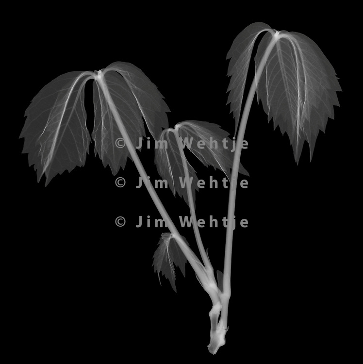 X-ray image of a baby Virginia creeper (Parthenocissus quinquefolia, white on black) by Jim Wehtje, specialist in x-ray art and design images.