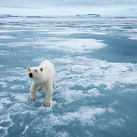 Norway, Svalbard, Nordaustlandet, Polar Bear (Ursus maritimus) standing on fjord ice at Sabinebukta Bay on summer morning