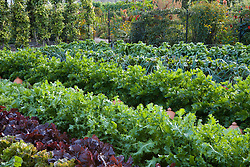 Rows of salad leaves and vegetables in the kitchen garden at West Dean with pear tunnel in the background.