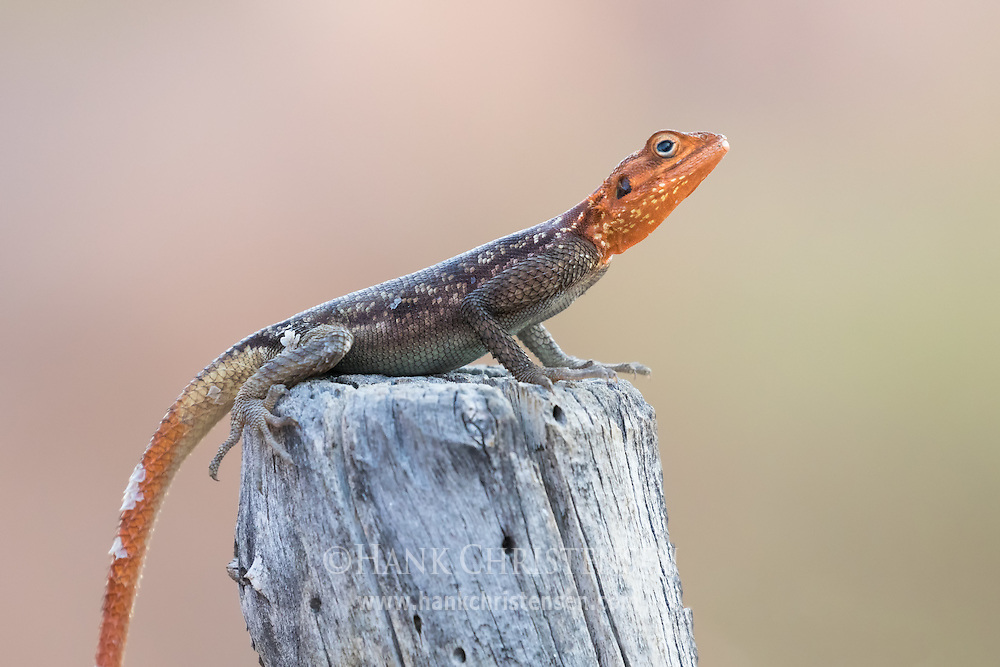 A male Namibian rock agama perches on a flat stump, Twyfelfontein, Namibia.