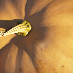Bolton, MA.  USA.  A squash at the Nicewicz Farm in Massachusetts' Nashoba Valley.