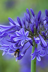 Bee on Agapanthus 'Midnight Blue'  syn. A. Navy Blue. African lily