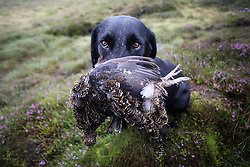 © Licensed to London News Pictures. 13/08/2016. Swinithwaite, UK. A dog retrieves a bird during a grouse shoot high on the Yorkshire moors in Swinithwaite, North Yorkshire. Yesterday was the glorious 12, the day that traditionally marks the start of the grouse shooting season. Photo credit : Ian Hinchliffe/LNP