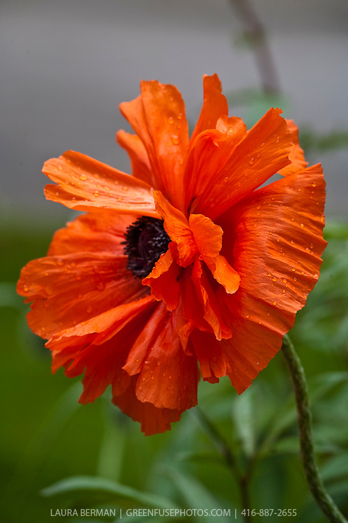 The Oriental poppy (Papaver orientale) is a perennial poppy of the genus Papaver.