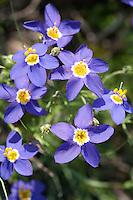 Blue-eyed Grass, (Sisyrinchium sagittiferum), Mason County, Texas