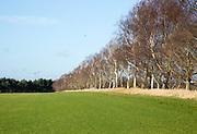 Line of silver birch trees, Betula pendula, crossing turf grab field, Sutton Heath, Suffolk, England, UK