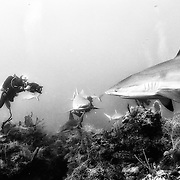 Diving with sharks in Jardines de la Reina, Cuba