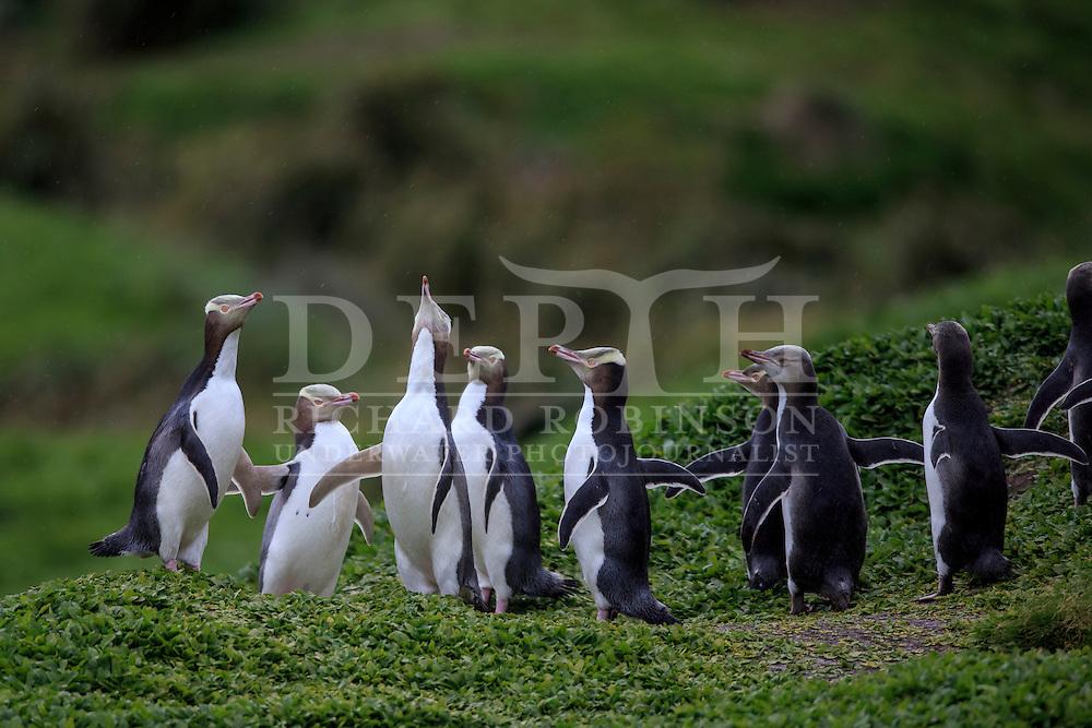 Megadyptes antipodes (Yellow eyed penguin) sea, Sandy Bay, Enderby Island, Auckland Islands, New Zealand.<br /> 14 January 2016<br /> Photograph Richard Robinson &copy; 2016