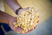 05 MAY 2008 -- BUCKEYE, AZ: LES HEIDEN holds up freshly milled corn that will be used to feed cattle in his feed lot in Buckeye, AZ. Heiden, owner of the Heiden Land & Cattle Company, said his corn prices have gone up by 123% since May, 2006. He attributes about 85 percent of the price increase to the ethanol industry, which he said his buying five times more corn now than they were two years ago. Heiden feeds about 4,500 head of cattle in his feed lot, which is west of Phoenix.  Photo by Jack Kurtz