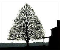A perfect tree is viewed from Powder Point Avenue in Duxbury, Massachusetts