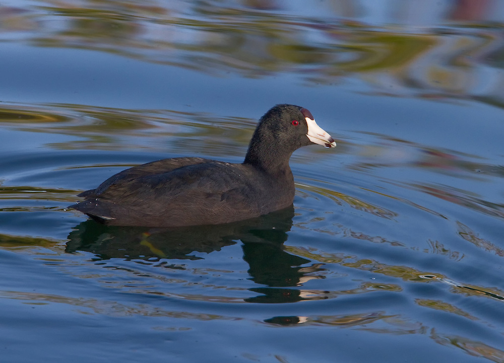 American coot (Fulica americana), also known as a mud hen, is a bird of the family Rallidae.