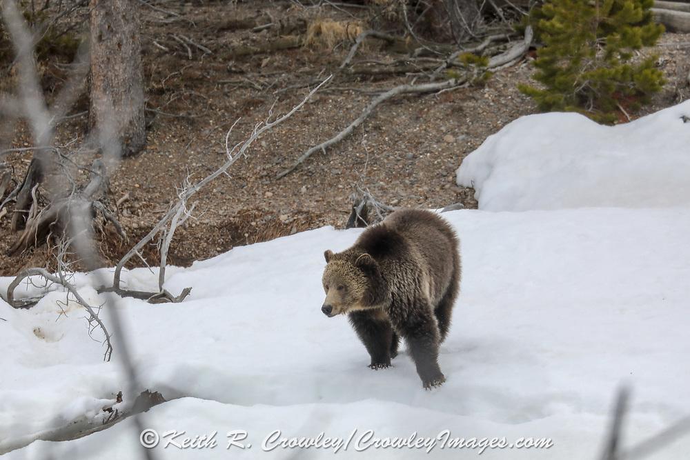 Grizzly bear in snowy habitat