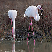 Two flamingos drinking against a background with brown bushes