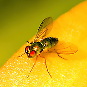 A small red-eyed green bottle fly (Lucillia sp) rests on a yellow Asian Lilly flower petal.