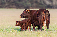 Newly born calf standing within close protection of its mother, Overberg, Western Cape, South Africa