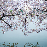 The Yoshino Cherry Blossoms around the Tidal Basin this year celebrate their 100th anniversary of the first planting in 1912. With the unseasonably warm winter, the peak bloom has come very early this year. In this photo taken on March 18, 2012, the blossoms are in peak bloom. The Jefferson Memorial