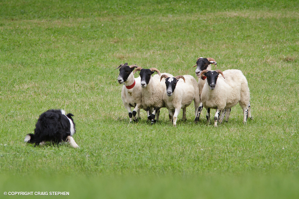 Collie sheepdog herding sheep at trials event.