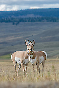 Two curious pronghorn antelope (Antilocapra americana) doe in the Lamar valley, Yellowstone National Park. Pronghorn are not actually true antelopes, but display similarities due to convergent evolution.
