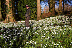 © Licensed to London News Pictures 28/01/2016, Cheltenham, UK. Head gardener Chris Horsefall looks over Colesbourne Park's Snowdrop collection, near Cheltenham, UK. The Park opens its doors to the public this weekend January 30th. The Park contains over 250 rare and unusual varieties of snowdrop and is considered to be England's greatest snowdrop garden.e Park Snowdrop collection, near Cheltenham, UK opens its doors to the public this weekend January 30th. The Park contains over 250 rare and unusual varieties of snowdrop and is considered to be England's greatest snowdrop garden.