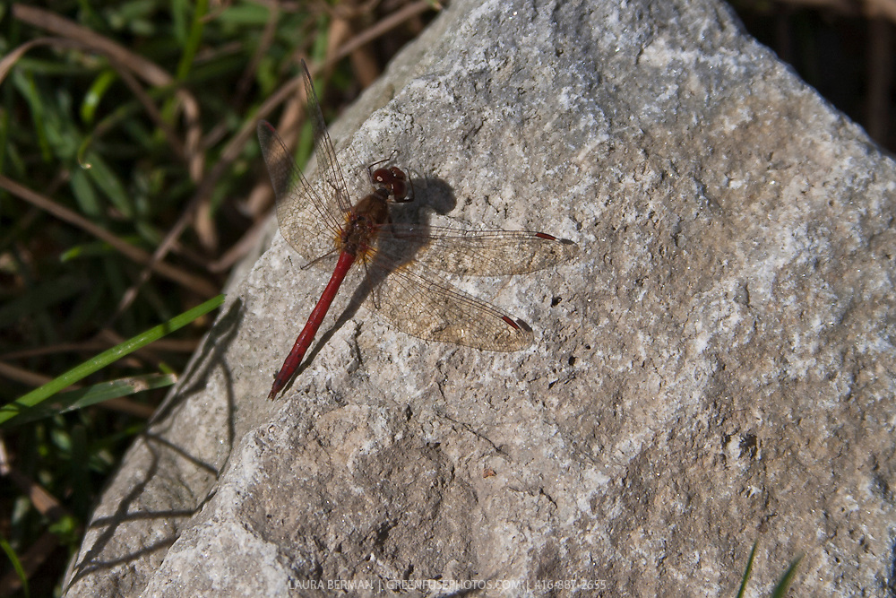 Common Darter (Sympetrum striolatum) isunning on a rock.
