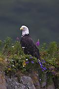 Bald Eagle (Haliaeetus leucocephalus) - Alaska
