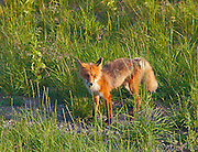 A fox at Tetlin NWR.  For the longest time he stood in the road looking toward the lake.  Tok, Alaska.  USA