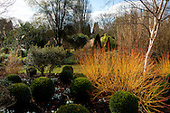 Cornus Sanguinea ' Midwinter Fire'  and Galanthus Nivalis growing in The Winter Garden at The Sir Harold Hillier Gardens, Romsey Hampshire, UK