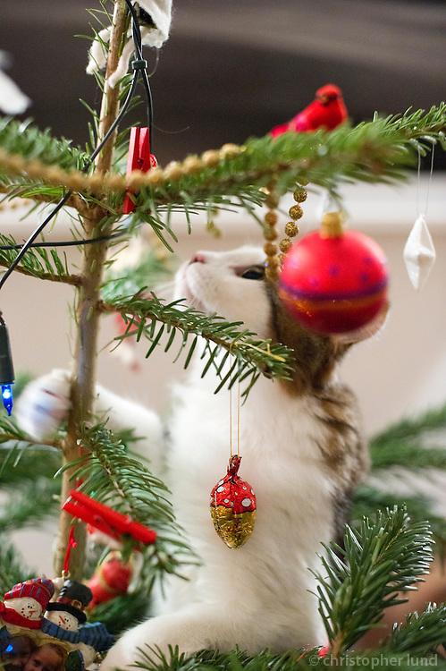 Mikki klifrar upp jólatréð. A cat climbing a christmas tree.