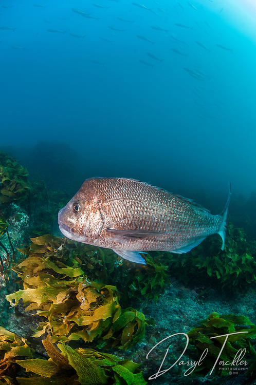 Large old man snapper on North reef, Goat Island Bay Marine reserve.