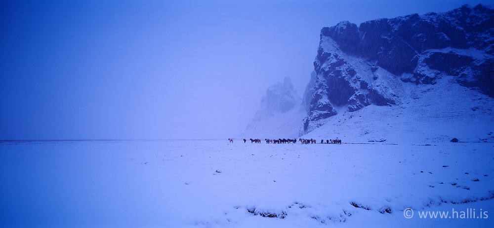 Horses at winter, Eyjafjoll, south coast of Iceland - Hestar að vetri undir Eyjafjöllum