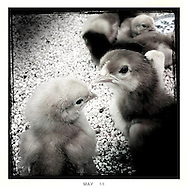 Chicks looking at each other