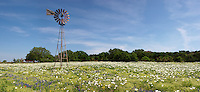 White Prickly Poppy (Argemone polyanthemos), Mason County, Texas