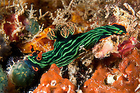 Nembrotha Nudibranch Feeding on Tunicate<br /> <br /> shot in Indonesia