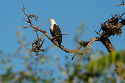 African fish eagle (Haliaeetus vocifer) perched on a tree. This bird is found in sub-Saharan Africa near water. The female, the larger of the sexes, has a wingspan of up to 230 centimetres. The African fish eagle spends most of the day perching in a high tree near water. From this perch it will swoop down on fish, catching them with its feet. Although the majority of its diet consists of fish, the African fish eagle also feeds on flamingos and other water birds, as well as carrion. Photographed at Lake Kariba, Zimbabwe