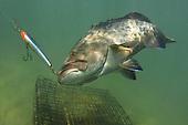 grouper, gag