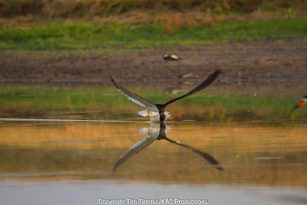 Black Skimmer, Rynchops niger, Bryan Beach, Texas gulf coast, skimming, head in water, splashing water