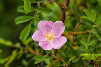 One of the many species of wild roses in the Pacific Northwest, the Wood's rose is a water-loving summer-bloomer, often found growing near lakes, ponds, and streams. This was photographed<br />