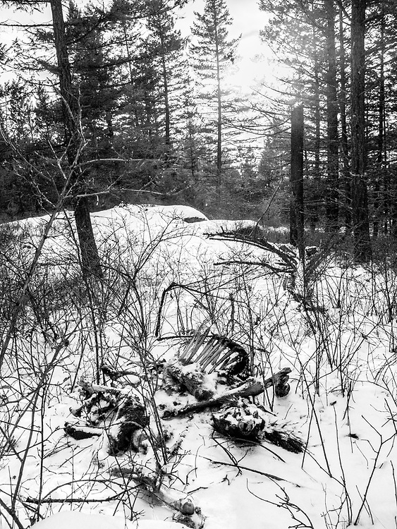 Sugar and elk carcass on Estes Lake trail