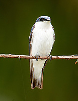 White-winged Swallow (Tachycineta albiventer),  Jardim d' Amazonia Ecolodge, Mato Grosso, Brazil