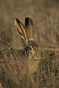 Black-tailed Jackrabbit, Jackrabbit