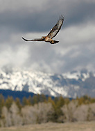 Price Chambers / JACKSON HOLE DAILY.A red-tailed hawk takes flight near the Snake River Overlook on Monday as dark clouds develop on the horizon. The most common member of the hawk family, this raptor enjoys eyesight eights times as powerful as humans and uses it to hunt and kill small rodents, their primary source of food..