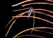 UNDERWATER MARINE LIFE CARIBBEAN, generic Cleaner shrimp Periclemnes pedersoni