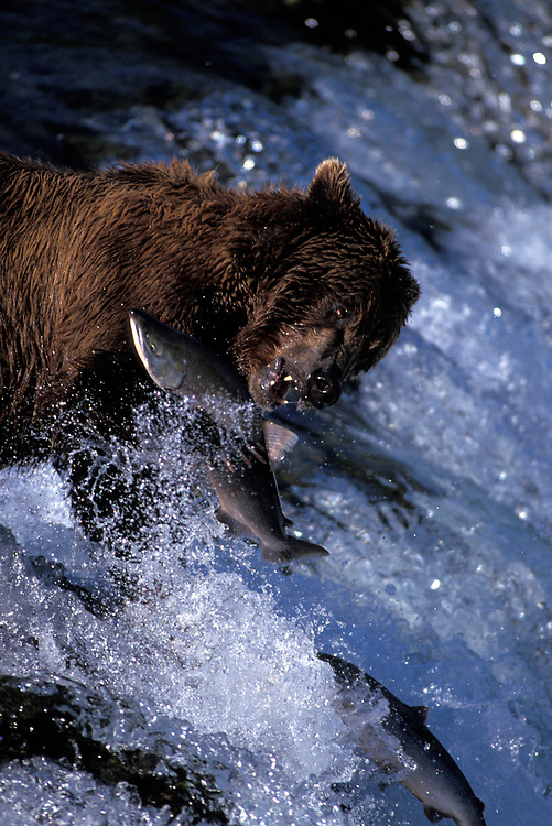 USA, Alaska, Katmai NP, Grizzly Bear (Ursus arctos) catches Red Salmon (Oncorhynchus nerka) at Brooks Falls