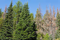 Conifer trees in Idaho.  Some infested and killed by the Mountain Pine Beetle and some not.