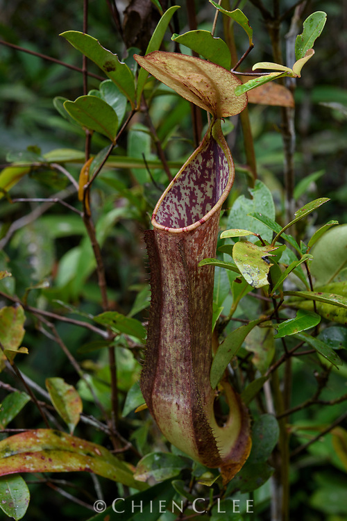 Pitcher plant (Nepenthes papuana). Digul River, Papua, Indonesia.