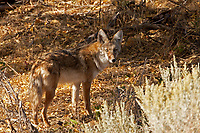 Coyote! You never know what you will find walking through the Aspens in the fall.