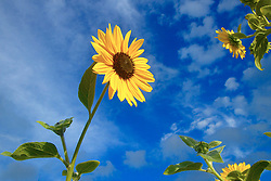 Uma flor de Girassol em um dia de sol.<br /> <br /> FOTO: Jefferson Bernardes / Preview.com
