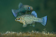 Comanche Springs Pupfish (displaying males)<br />