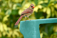Female Northern Cardinal perched on garden furniture Wellington Florida USA
